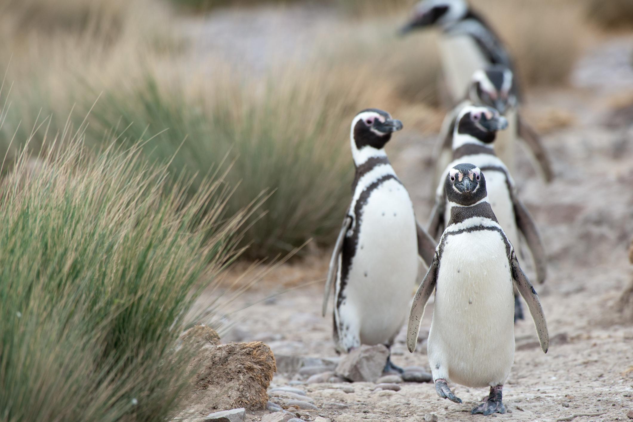 Magellanic Penguin Patagonie